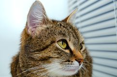 Grey Tabby Cat image stock