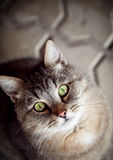 Grey tabby cat Royalty Free Stock Image
