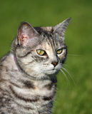 Grey Tabby Cat. On green background looking intensely at something stock photography