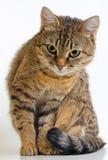 Grey Tabby Cat image stock