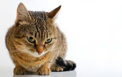 Grey Tabby Cat Foto de Stock