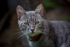Grey Tabby Cat Stock Photography