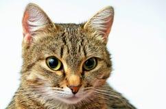 Grey Tabby Cat Arkivbilder
