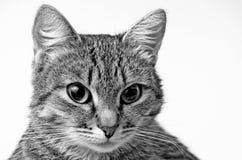 Grey Tabby Cat Fotografia Stock Libera da Diritti