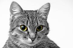 Grey Tabby Cat Immagine Stock