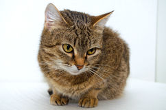 Grey Tabby Cat photographie stock