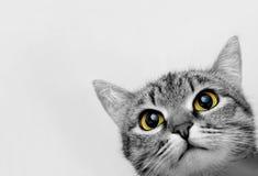 Grey Tabby Cat photos stock