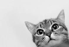 Grey Tabby Cat photo stock