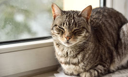 Grey tabby cat. Tabby cat, close-up. domestic cat, sitting on a window royalty free stock images