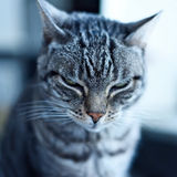 Grey tabby cat. Tabby cat, close-up. Domestic cat, sitting on a window. Selective focus of a grey striped cat royalty free stock photography
