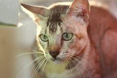 Grey Tabby Cat Royalty Free Stock Image