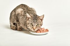 Grey tabby cat eat food from bowl and looking at camera. On white background stock images