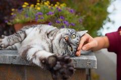 Grey tabby cat enjoying be stroked from a girls hand Royalty Free Stock Photos