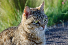 Grey Tabby Cat Stock Photo