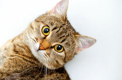 Grey tabby cat. Stock Image