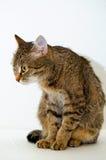 Grey tabby cat. Royalty Free Stock Photography
