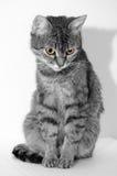 Grey tabby cat. Stock Photos