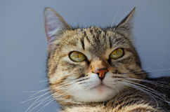 Grey tabby cat. Stock Images