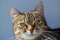 Grey tabby cat. Royalty Free Stock Image