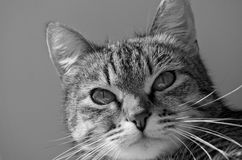 Grey tabby cat. Stock Photo