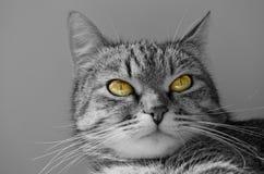 Grey tabby cat. Stock Photography