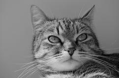 Grey tabby cat. Royalty Free Stock Photo