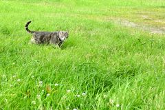 Grey cat on a harness and leash on a stroll in the grass. Grey tabby cat on a harness and leash on a stroll in the grass Royalty Free Stock Image