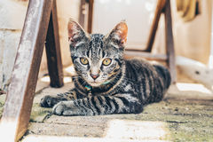 Grey tabby cat with intense golden eyes Royalty Free Stock Image