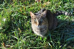 Grey tabby cat looking up from grass at camera. Grey tabby cat looking up with green eyes at camera from grass on sunny day Royalty Free Stock Photo