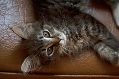 Grey tabby cat lying on chair from above stock images