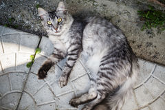 Grey tabby cat. Lying on the pavement slab and looks at the camera Stock Images