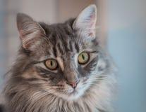 Grey tabby cat Stock Image