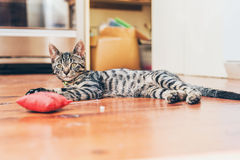 Grey tabby cat with pretty striped markings Royalty Free Stock Image