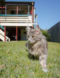 Grey tabby cat on the prowl. A grey tabby Maine Coon cat walking through the green grass of a typical Australian backyard. An Australian Queenslander and blue Stock Image