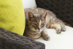 Grey Tabby Cat Relaxing on a Chair royalty free stock photo