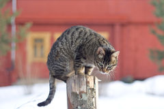 Grey Tabby Cat Sitting On Post Royalty Free Stock Photos