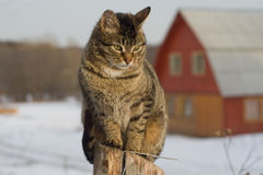 Grey tabby cat sitting on post. Grey tabby cat on a fence in winter in the country Stock Image