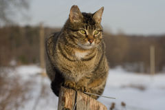 Grey tabby cat sitting on post Royalty Free Stock Photo