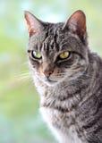 Grey tabby cat Stock Photos