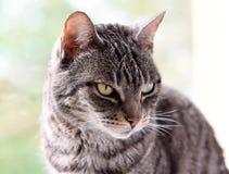 Grey tabby cat Royalty Free Stock Photography