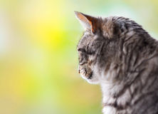 Grey tabby cat Royalty Free Stock Images