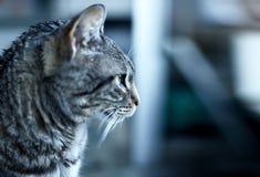 Grey tabby cat Royalty Free Stock Photo