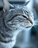 Grey tabby cat Stock Images