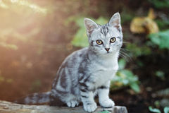 Grey Tabby Cat in Woods. Young grey tabby cat sitting on a log in the woods Royalty Free Stock Photography