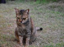 Grey Tabby Friendly Cat interesting some foods on the grass field royalty free stock image
