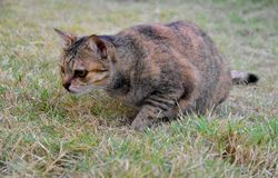 Grey Tabby Friendly Cat interesting some foods on the grass field royalty free stock images