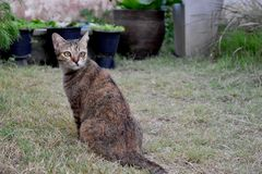 Grey Tabby Friendly Cat interesting some foods on the grass field stock photography