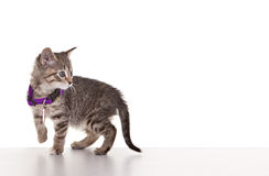 Grey Tabby Kitten. On white background Stock Photography