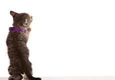 Grey Tabby Kitten. On white background Stock Photos