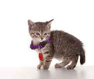 Grey Tabby Kitten. On white background Royalty Free Stock Photo